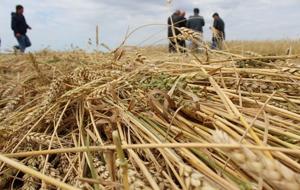Россия и Иран теряют интерес к казахстанской пшенице