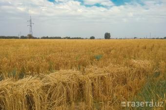 В Узбекистане за низкий урожай зерна могут изъять землю